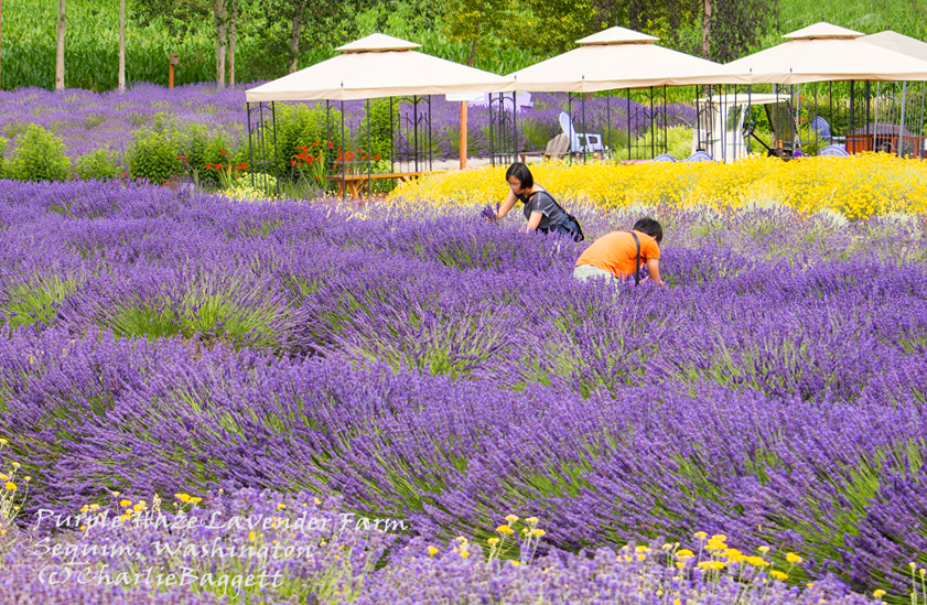 Inspiring Lavender Fields  Farmsbeauty  Fragrance That Takes Your Breath  With Licious Purplehazepickerseditedwm With Easy On The Eye Miniature Zen Garden Also Square Garden Table In Addition Cube Garden Furniture And Garden Rope Fencing As Well As Metal Garden Sheds Ireland Additionally Garden Pictures From Nancyslavenderplacecom With   Easy On The Eye Lavender Fields  Farmsbeauty  Fragrance That Takes Your Breath  With Inspiring Garden Rope Fencing As Well As Metal Garden Sheds Ireland Additionally Garden Pictures And Licious Purplehazepickerseditedwm Via Nancyslavenderplacecom